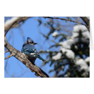 Tarjeta Arrendajo azul en nieve