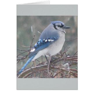 Tarjeta Arrendajo azul en rama de árbol