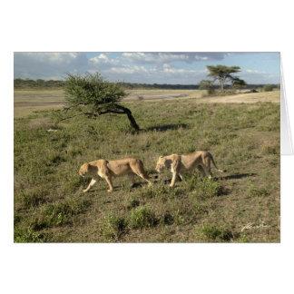 Tarjeta (Clubs de leones) el caminar de dos leonas (área