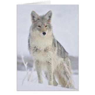 Tarjeta Coyote - fotografía de la fauna de Steven Holt