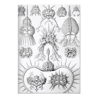 Tarjeta Criaturas del mar de Ernst Haeckel Spyroidea