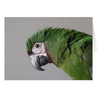 Tarjeta de felicitación severa del Macaw