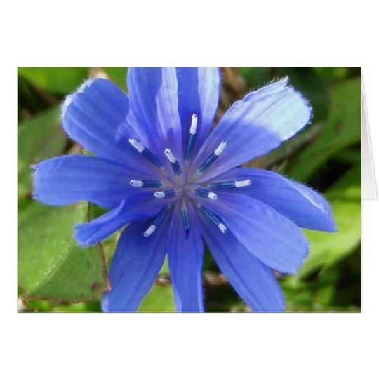 Tarjeta de la flor de la achicoria