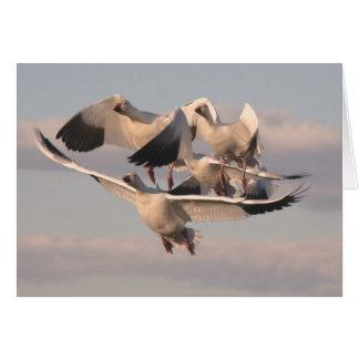 Tarjeta de los gansos de nieve del vuelo