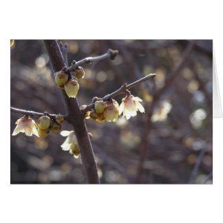 Tarjeta de Wintersweet (praecox del Chimonanthus)