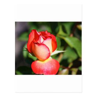 Tarjeta del capullo de rosa postal