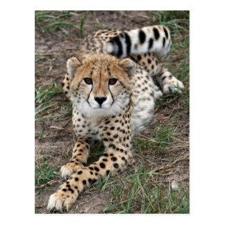 Tarjeta del guepardo Info