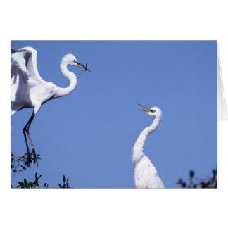 Tarjeta Dos grandes Egrets (Ardea alba) en un cortejo