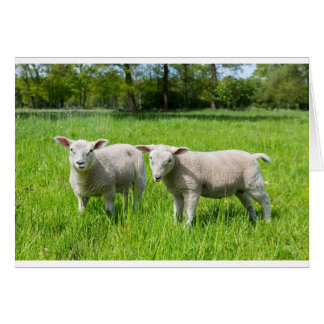 Tarjeta Dos ovejas holandesas blancas en prado verde de la