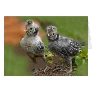 Tarjeta Dos polluelos polacos - pollos lindos del bebé