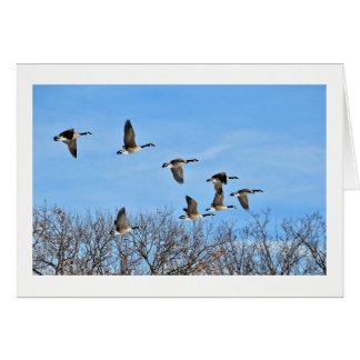 Tarjeta en blanco canadiense de los gansos en