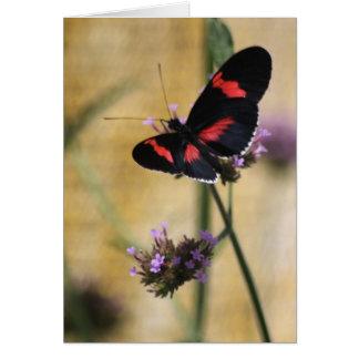 Tarjeta en blanco de la mariposa negra y roja