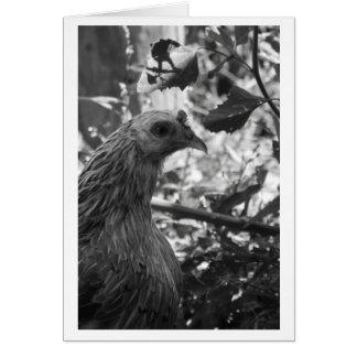 Tarjeta en blanco del pollo de Araucana
