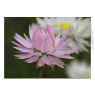 Tarjeta eterna rosada de la margarita