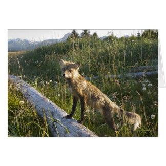 Tarjeta Fox rojo, fulva del Vulpes en el registro,