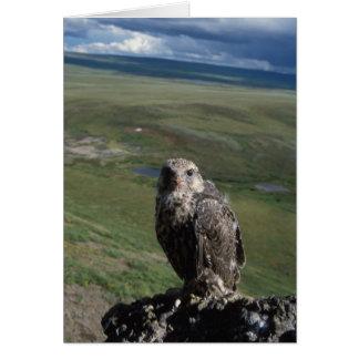Tarjeta gyrfalcon, rusticolus de Falco, el conseguir