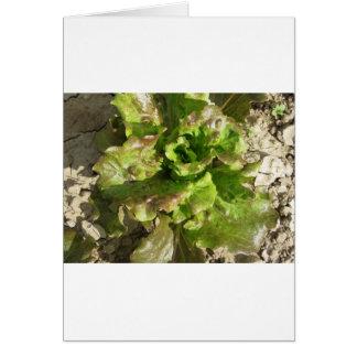 Tarjeta Lechuga fresca que crece en el campo. Toscana,