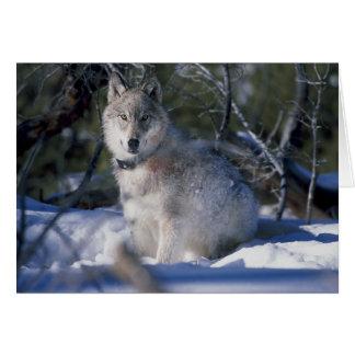 Tarjeta Lobo en nieve