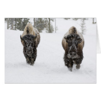 Tarjeta Los E.E.U.U., WY, Yellowstone NP, bisonte