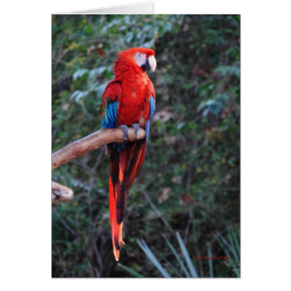 Tarjeta Macaw del escarlata