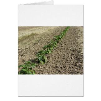 Tarjeta Plantas frescas de la albahaca que crecen en el