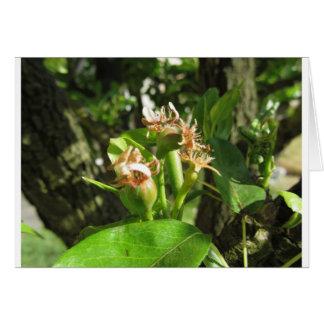 Tarjeta Ramita del peral con los brotes en la primavera