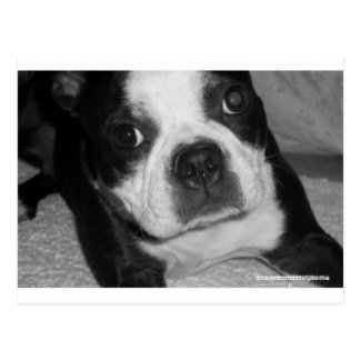 Tarjetas de condolencia del mascota de Boston Terr Tarjeta Postal