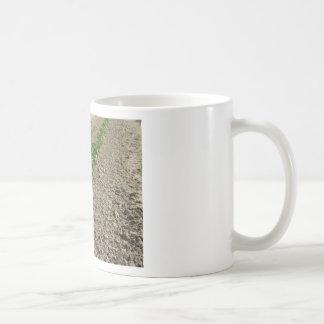 Taza De Café Plantas frescas de la albahaca que crecen en el