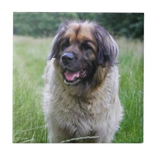 Teja o trivet hermosa, idea del perro de Leonberge