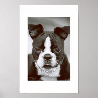 """Terrier """"Tipo-Capone """" de Boston Póster"""