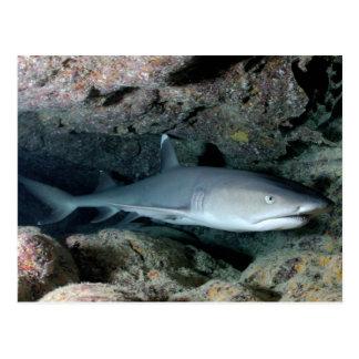Tiburón de Silvertip Postal