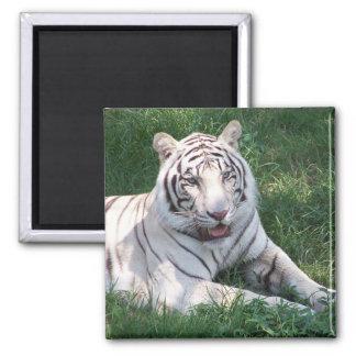 Tigre blanco en imagen vertical del marco de la hi imanes