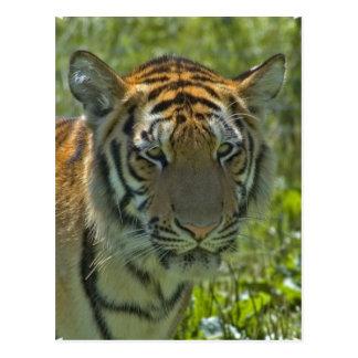 Tigre Cub joven Postal
