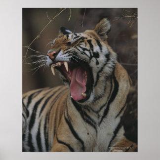 Tigre Cub que bosteza Póster