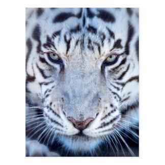 Tigre de Bengala blanco Postal