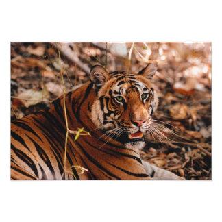 Tigre de Bengala, Panthera el Tigris, Bandhavgarh  Arte Fotográfico