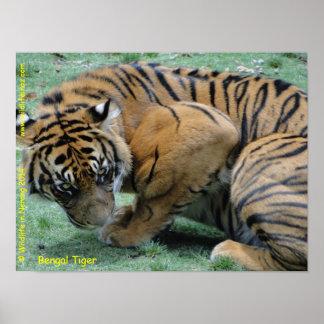 Tigre de Bengala Impresiones