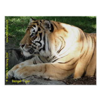 Tigre de Bengala Poster