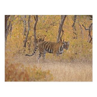 Tigre de Bengala real en el bosque, Ranthambhor Postal