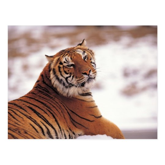 Tigre de descanso postal