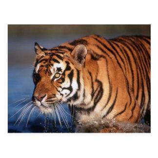 Tigre de la India, Bengala (Panthera el Tigris) 2 Postal