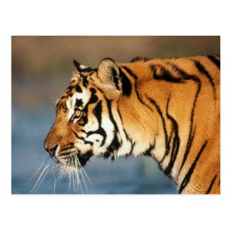 Tigre de la India, Bengala (Panthera el Tigris) 4 Postal