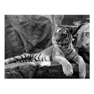 Tigre de reclinación postal