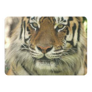 Tigre de Sumatran Invitación 12,7 X 17,8 Cm