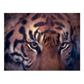 Tigre de vagabundeo postal
