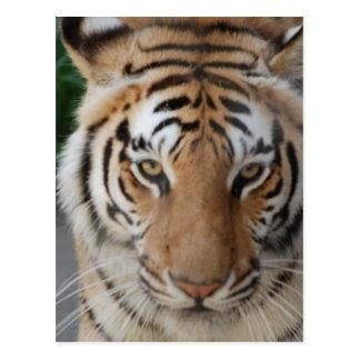 Tigre dulce postal
