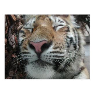 Tigre el dormir postal