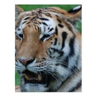 Tigre el gruñir postal