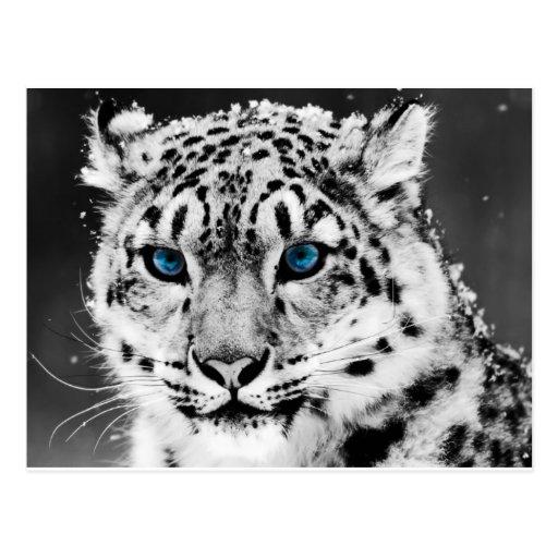 Tigre-en-blanco-y-negro.jpg Postal