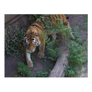Tigre en el vagabundeo postal